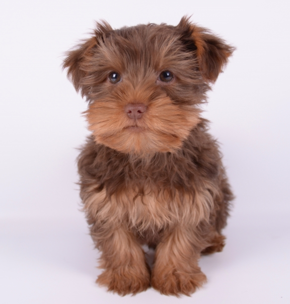 rare-teddy-bear-face-chocolate-male-yorkie